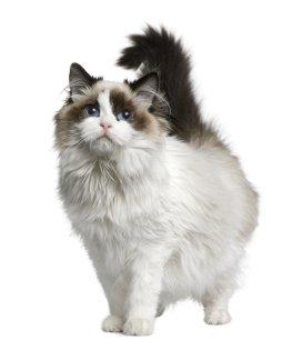 Die Ragdoll-Katze – Edle Rassekatze auf vier Samtpfoten