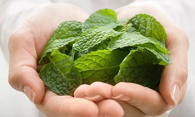 Heilpflanze Pfefferminze: Erfrischt und entspannt