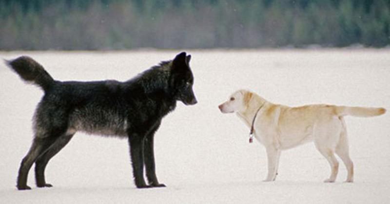 Er sah hilflos zu, wie der Wolf sich seinem Hund nähert – dann geschah das Undenkbare.