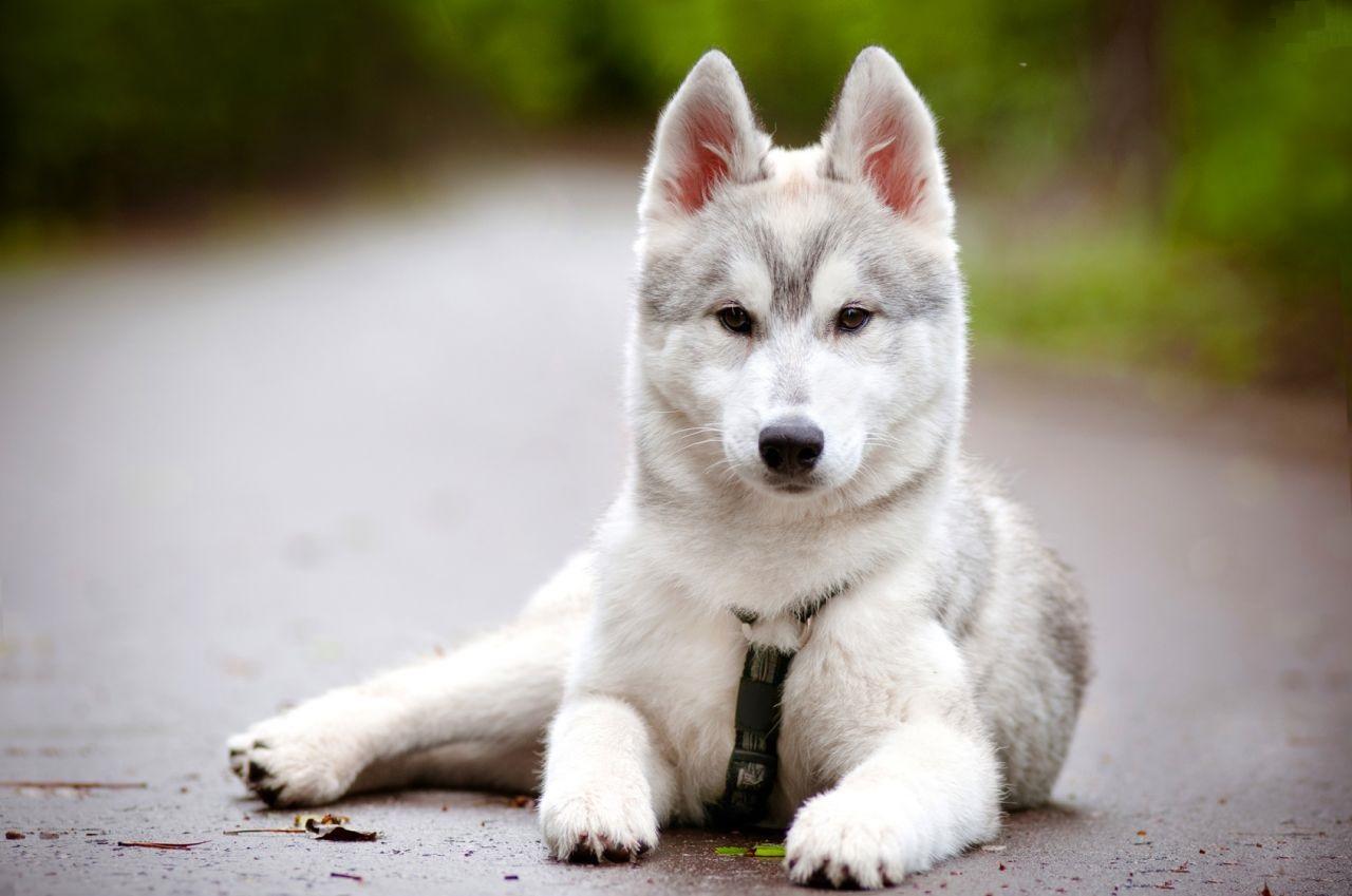 Der Husky weigert sich verbissen, den Park zu verlassen. Doch als die Besitzerin kommt, stellt er den Protest ein.
