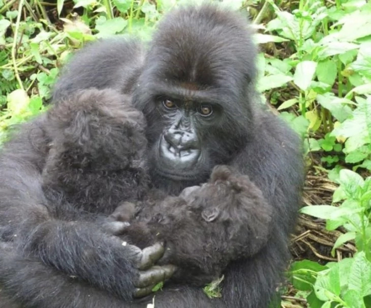 Gorilla verschwindet im Park. Kurz darauf findet man sie bei zwei weiteren Parkbewohnern