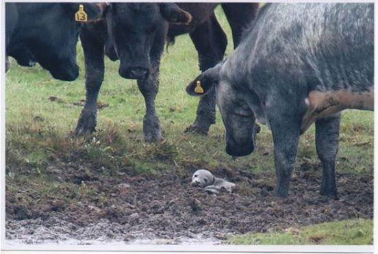 Die Kühe haben etwas Winziges eingekreist. Als der Mann sieht, was da im Schlamm zappelt, rennt er los.