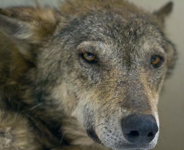 Angeschossen, voller Kugeln, lag dieser total unterkühlte Wolf zitternd in einem Flussbett und war bereit zu sterben