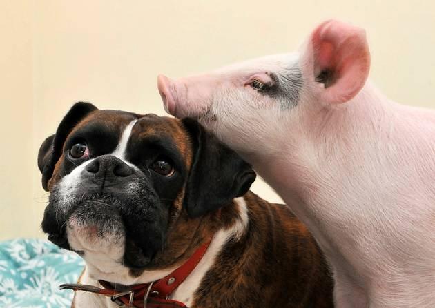 Seid ihr bereit für das ultimative gute Laune Hund & Schweinchen Video? Piggy & Puggy