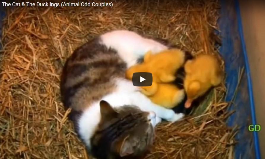 Die Entchen verschwanden langsam vom Bauernhof und der Bauer gab der Katze die Schuld – was diese aber wirklich tat, ist einfach toll!