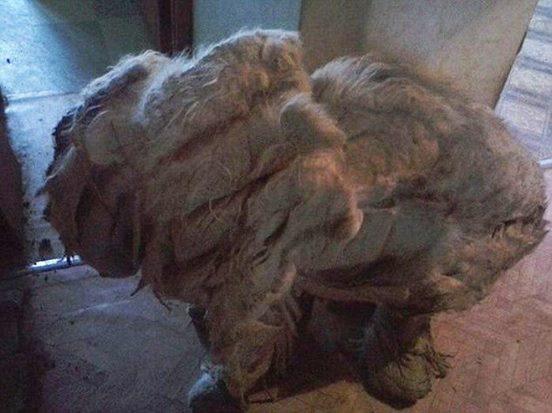 Diese Russen lassen den Hund 1 Jahr allein. Als sich die Tür zur Wohnung öffnet, schlägt den Menschen bestialischer Gestank entgegen.