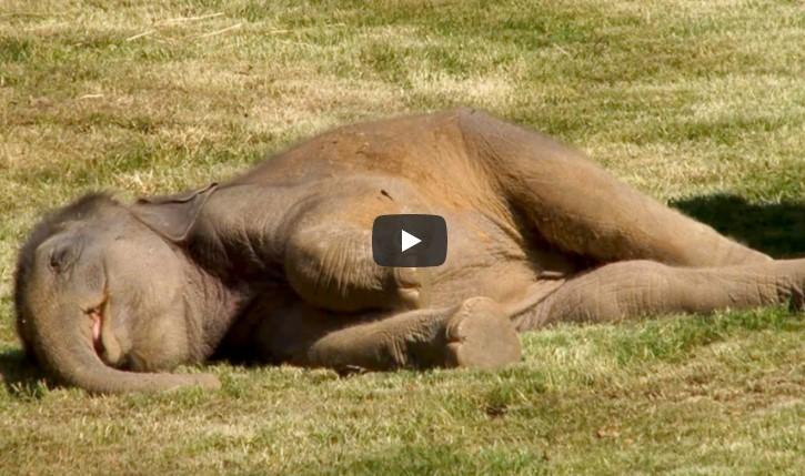 Die Elefantenmutter beugt sich über das reglose Baby und stupst es vergeblich an. Bei 0:45 gehen meine Mundwinkel jedoch automatisch nach oben.