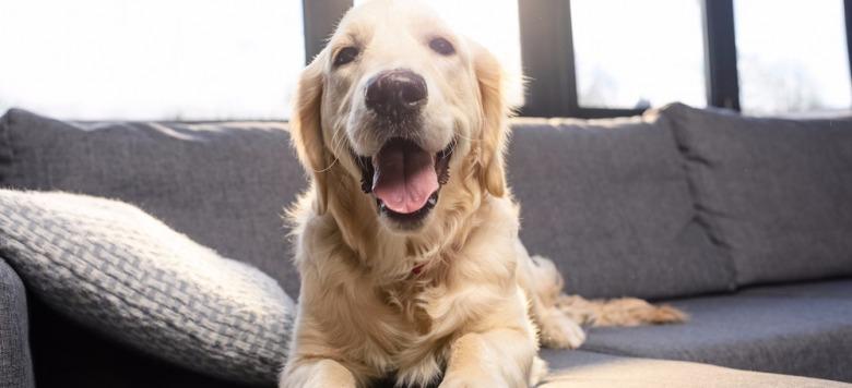 Video: Als er seinen Platz auf der Couch aufgeben soll, meckert der Golden Retriever!
