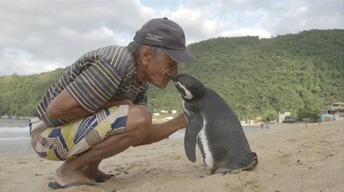 PINGUIN SCHWIMMT JEDES JAHR 8000 KILOMETER UM DEN MANN ZU SEHEN, DER SEIN LEBEN GERETTET HAT!