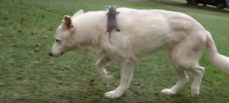 Hund läuft mit seltsamer Fracht herum. Beim näheren Hinsehen kann man einen Schwanz und große schwarze Augen erkennen