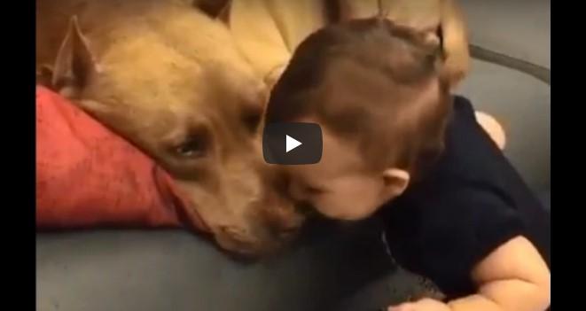 """Das Baby gibt dem Pitbull einen Kuss – schau dir die Reaktion des """"gefährlichen"""" Hundes an!"""
