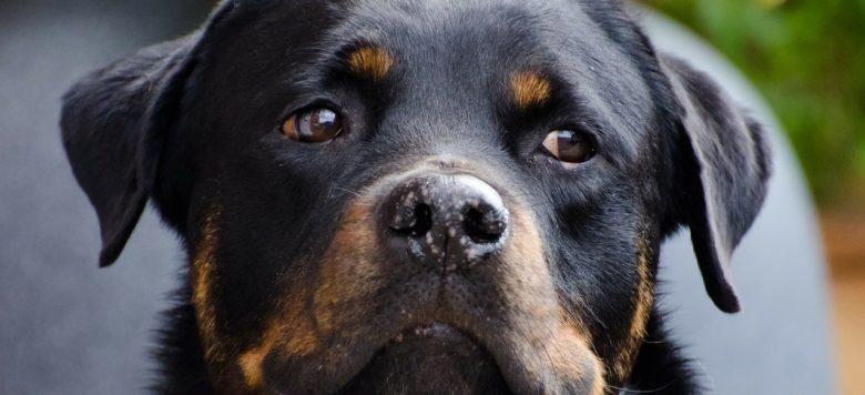 Tierische Heldin – Fast blinde Rottweiler-Hündin rettet ihre Menschen- und Hundefreunde vor den Flammen!