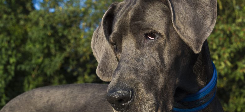 Video: Sanftmütige Deutsche Dogge trifft auf kleine Baby Gans!