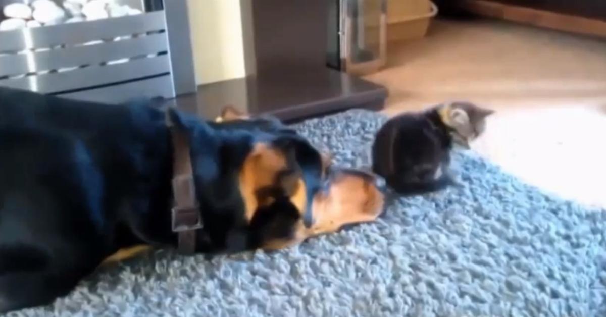 Süße und hartnäckige Hunde, die sich mit Katzen anfreunden wollen.
