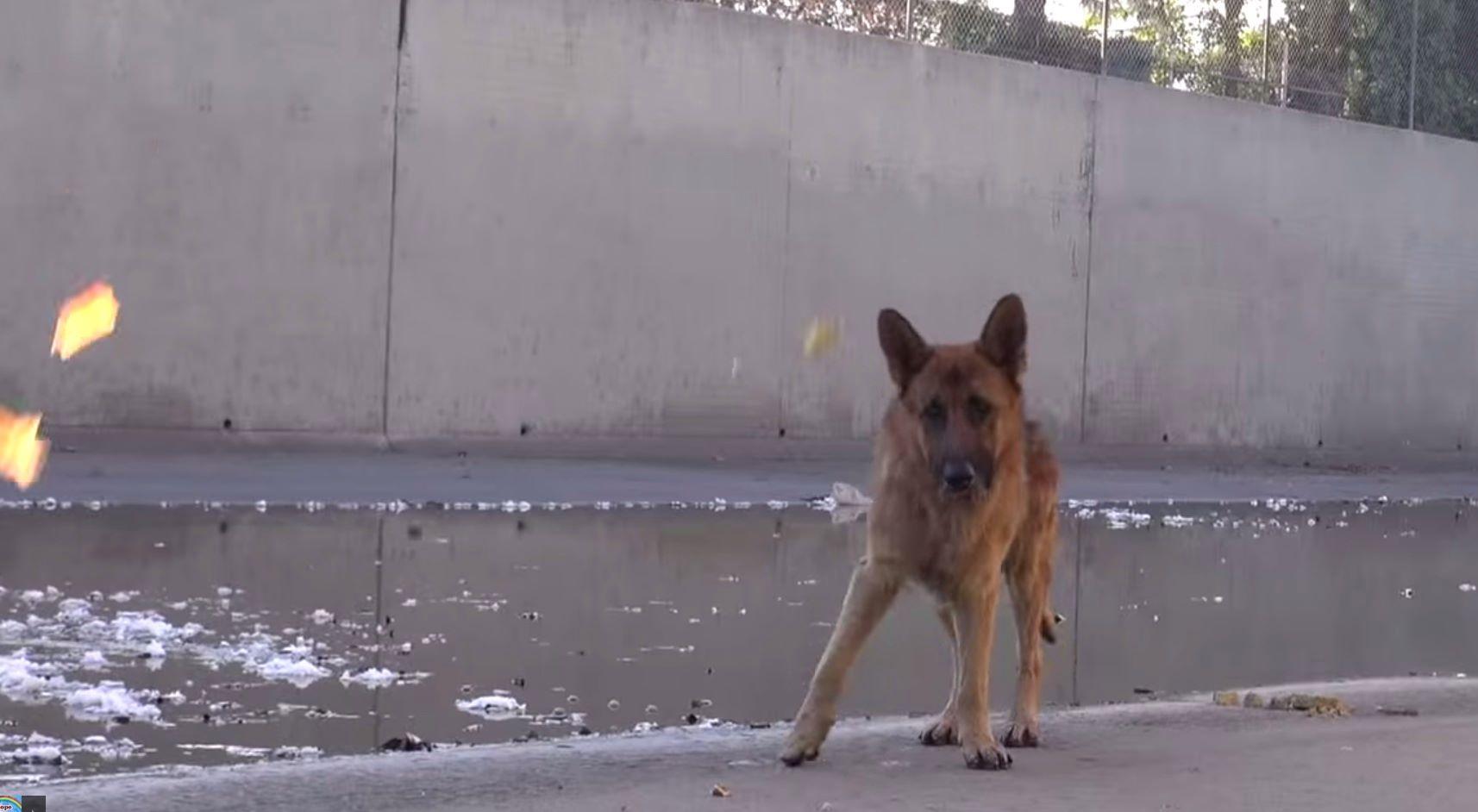 Herzzerreißendes Video: Mann rettet verwahrlosten Schäferhund.