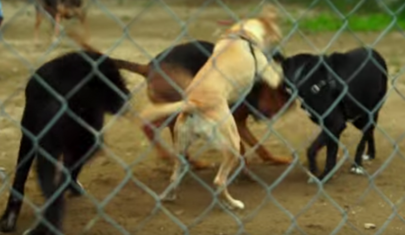 Sie sperren den Hund mit einem Kriminellen ein. Was die Kamera dann filmt, wirst du nicht glauben!