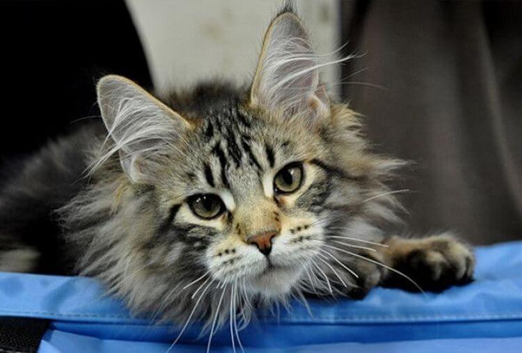 Maine-Coon-Katze: Sie sind die schönsten