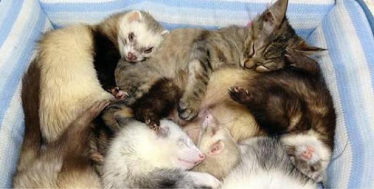 Dieses ausgesetzte Kätzchen wurde von einer Frettchenfamilie aufgezogen