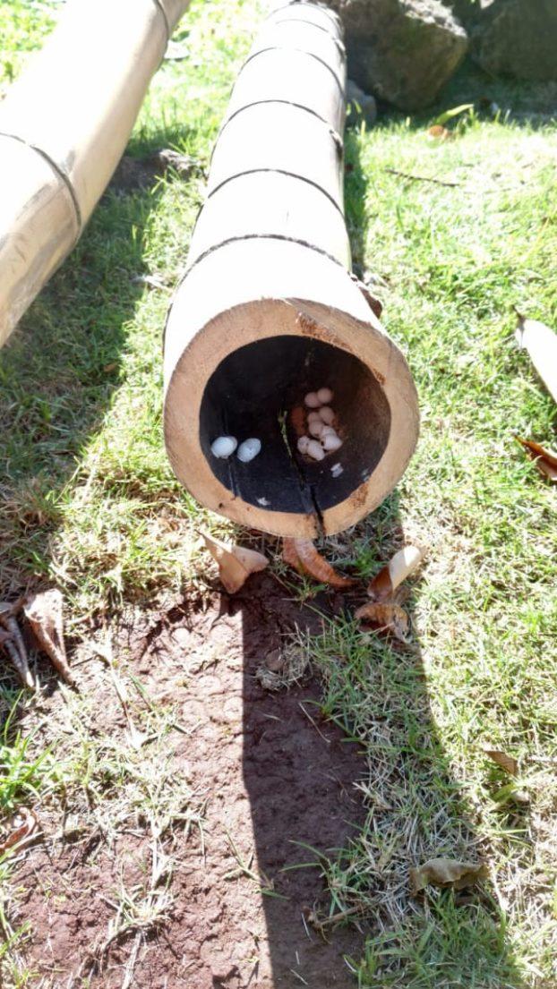 Mann findet Eidechseneier im Garten
