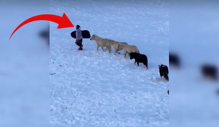 Der Junge möchte mit dem Schlitten den Hügel hinunter – aber die Miniaturpferde wollen mit ihm spielen