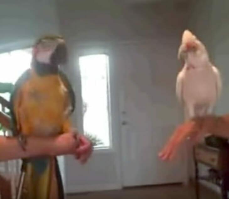 """2 Papageien drehen durch – im niedlichsten """"Dance Off"""" aller Zeiten"""