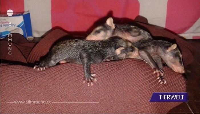 Sanfte Hündin wird zur rettenden Ersatzmutter für 5 Baby-Opossums.