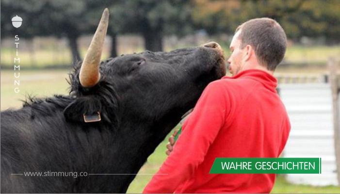 Mann rettet Stier vor der Kampfarena und bringt ihm großartige Dinge bei.