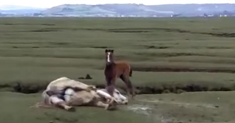 Video: Fohlen weigert sich, gefangene Mutter zu verlassen.
