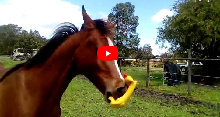 Das Pferd findet ein gelbes Gummihuhn auf der Weide. Bei 0:17 halte ich mir den Bauch vor Lachen!