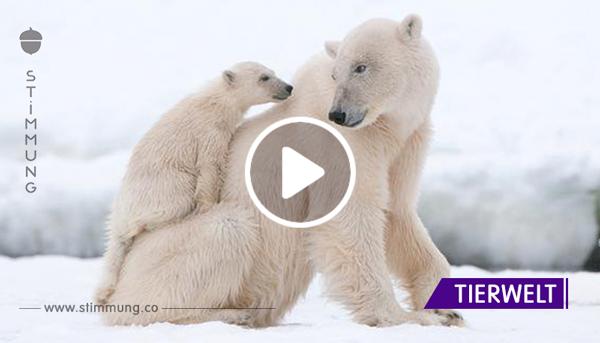 Sommerhitze: Budapester Zoo muss Eisbären mit Eisblöcken abkühlen.