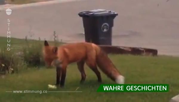 Hund lässt Spielzeug im Garten – schau dir seine Reaktion an, als er sieht, wie der Fuchs damit spielt