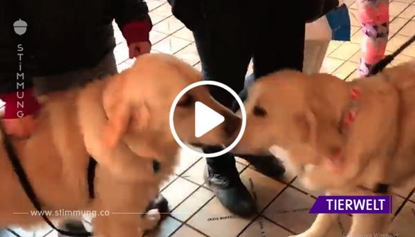 Hunde flippen aus, als sie sich im Supermarkt sehen – die Besitzer sehen sich die Ohren an und verstehen warum