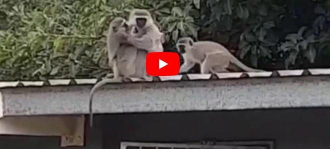 Affenjunges hat seine Mutter seit drei Wochen nicht gesehen, schau dir ihr herzhaftes Wiedersehen an