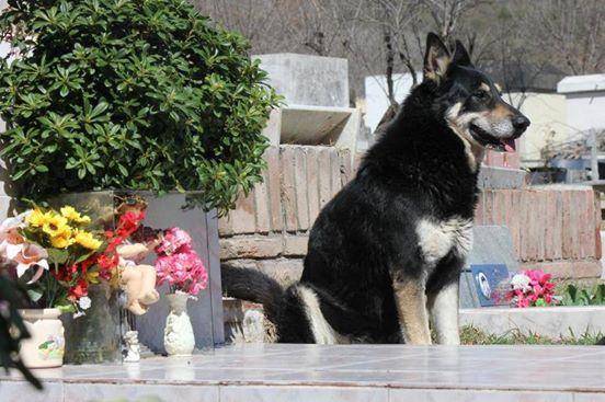 Hund wacht 11 Jahre lang an Grab, bevor er selbst stirbt.