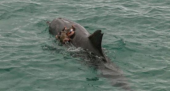 Der Delfin versucht, die Beute zu fressen. Die Rechnung hat er allerdings ohne diesen Kämpfer gemacht!