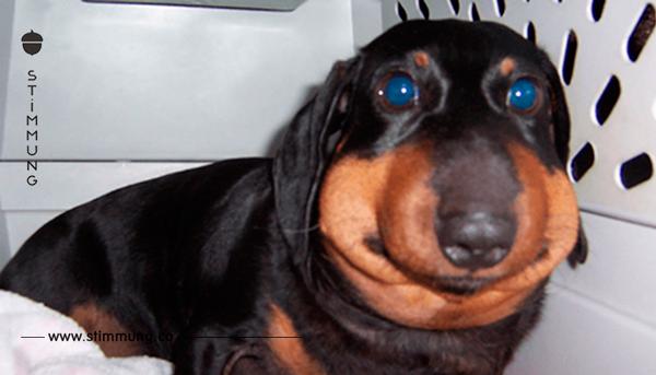 Zwischen den Lefzen ihres Hundes findet das Frauchen den Grund für sein plötzliches Anschwellen.