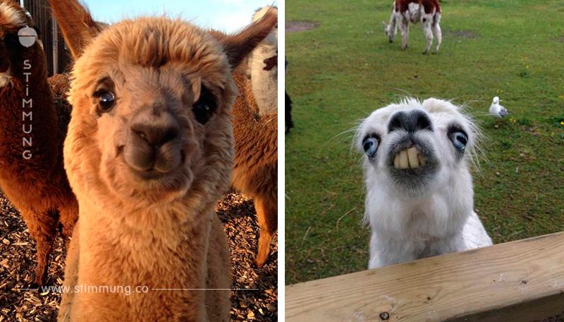 Die lustigsten Alpakas der Welt bringen jeden zum Schmunzeln.