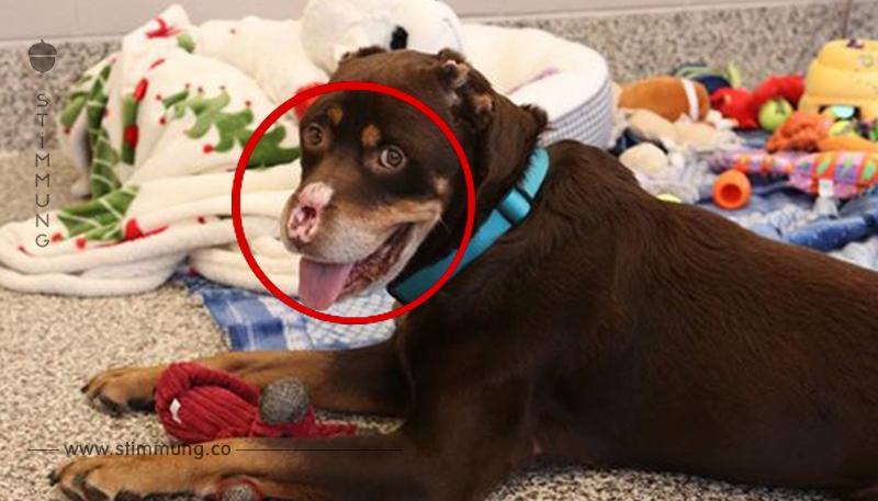 Diesem Hund wurden die Nase und der Schwanz brutal abgeschnitten. Die Bilder rühren einen zu Tränen.