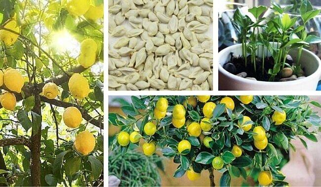 Züchte dein eigenes Zitronenbäumchen!