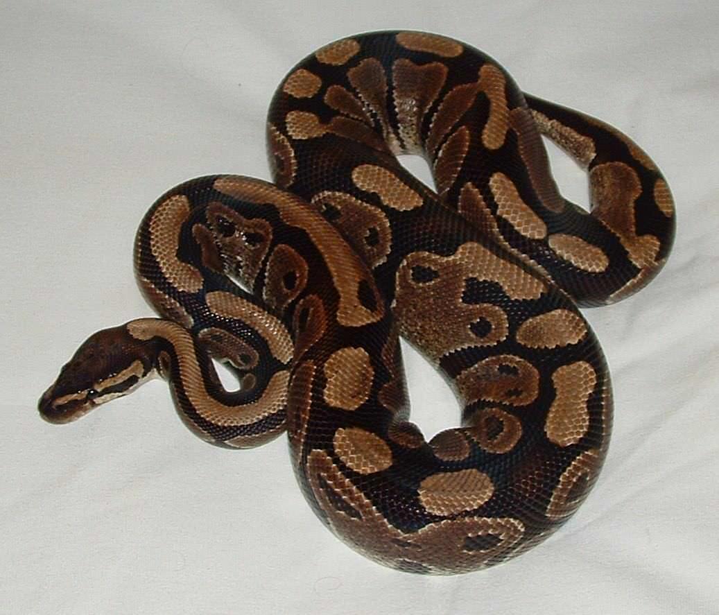 Lustige Geschichte: Frau, die mit Python geschlafen hat, bereut es