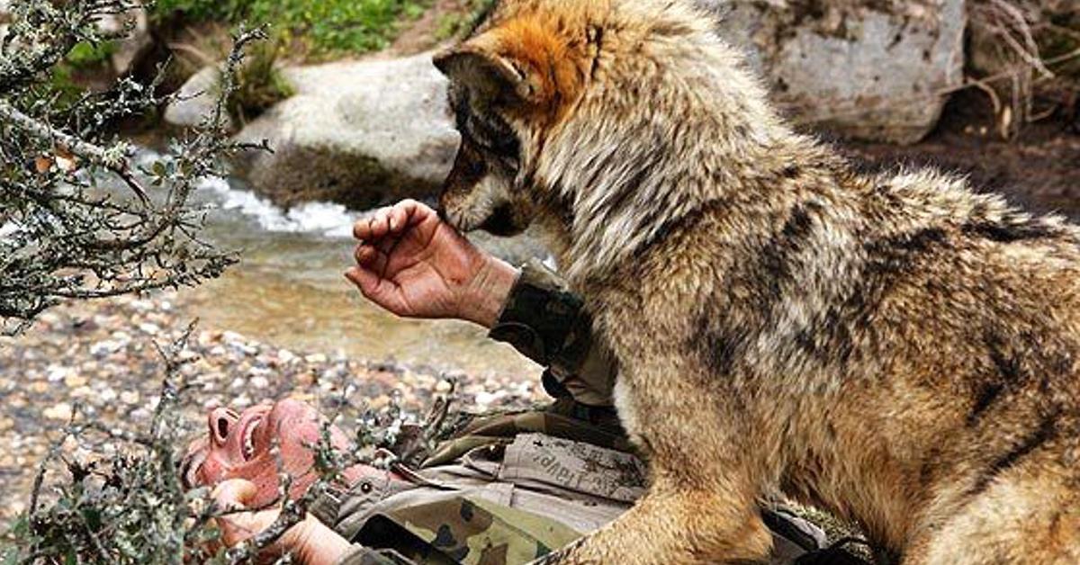 """72-jähriger """"Mogli"""" vermisst seine Wolfsfamilie."""