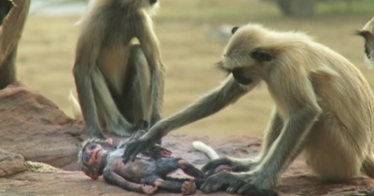 Sie setzen eine Babypuppe zu der Affenfamilie. Wie die Tiere reagieren, als etwas Schreckliches passiert, schnürt mir die Kehle zu.