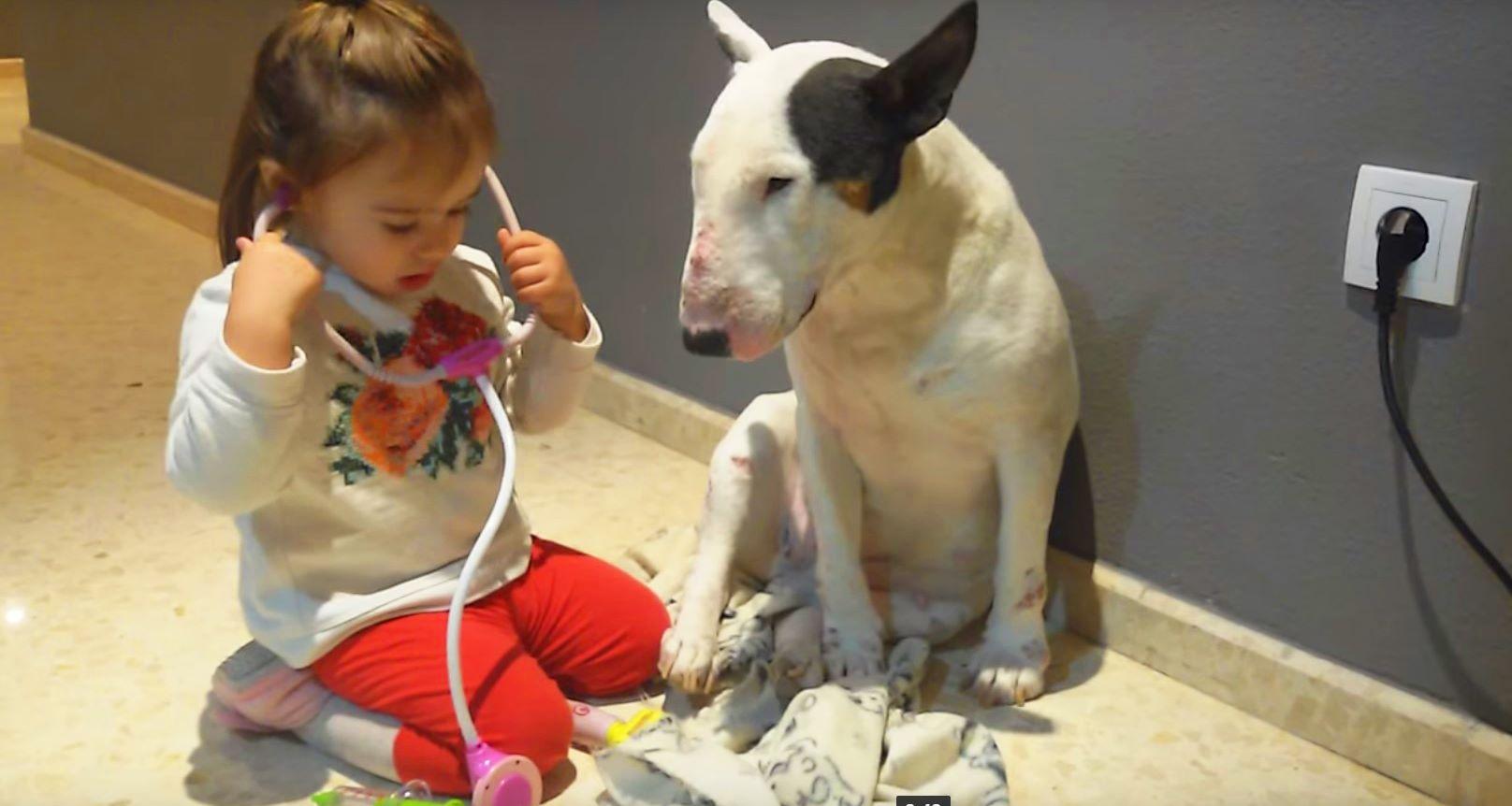 Ein kleines Mädchen spielt Doktor mit Bullterrier! Es ist unglaublich, so geduldig ist dieses Tier