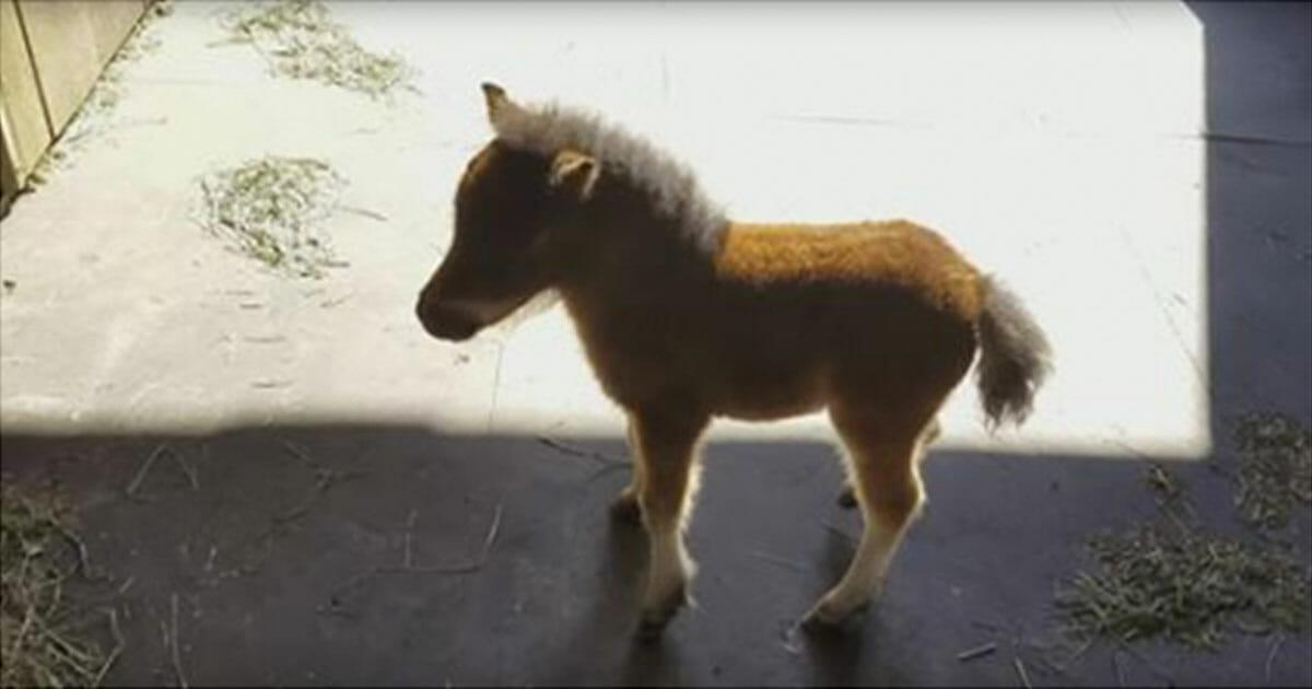 Das Mini Pferd ist ein kleiner Stalker – schau hin, und versuche nicht zu lachen