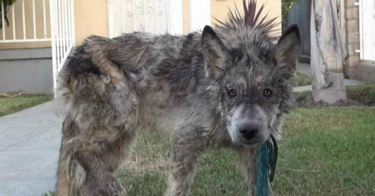 """Ein """"Wolf"""" verbreitet in der Nachbarschaft Angst – bis jemand genauer hinsieht"""