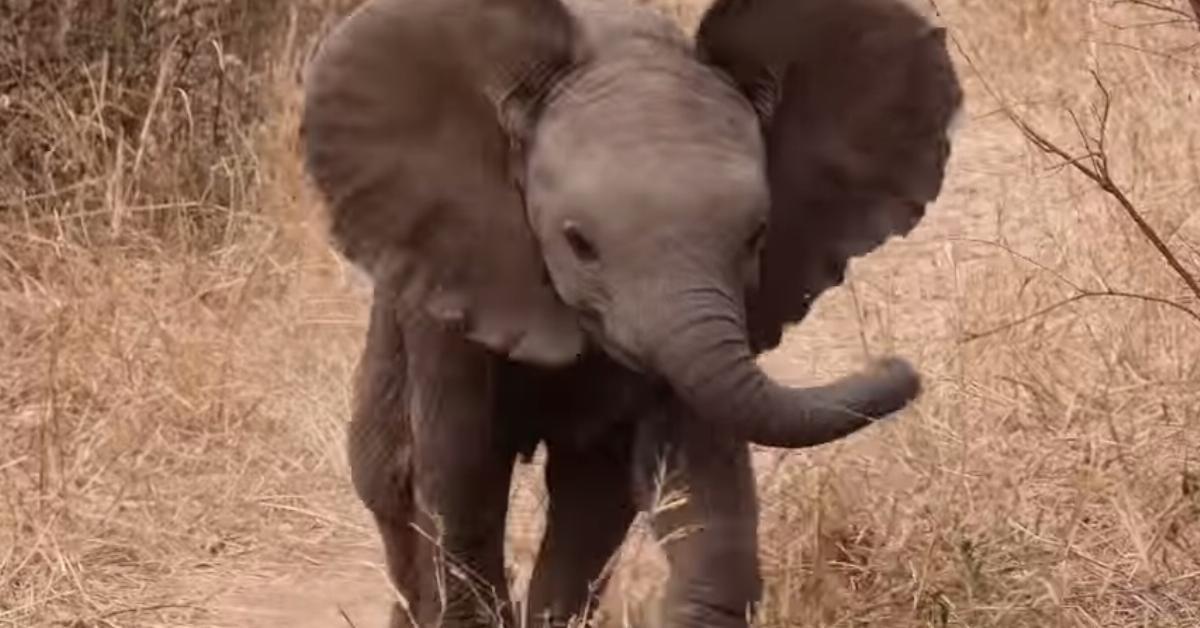 Das Elefantenbaby trennt sich von der Mutter und rennt zum Kameramann. Was daraufhin passiert, lässt ihn laut auflachen.
