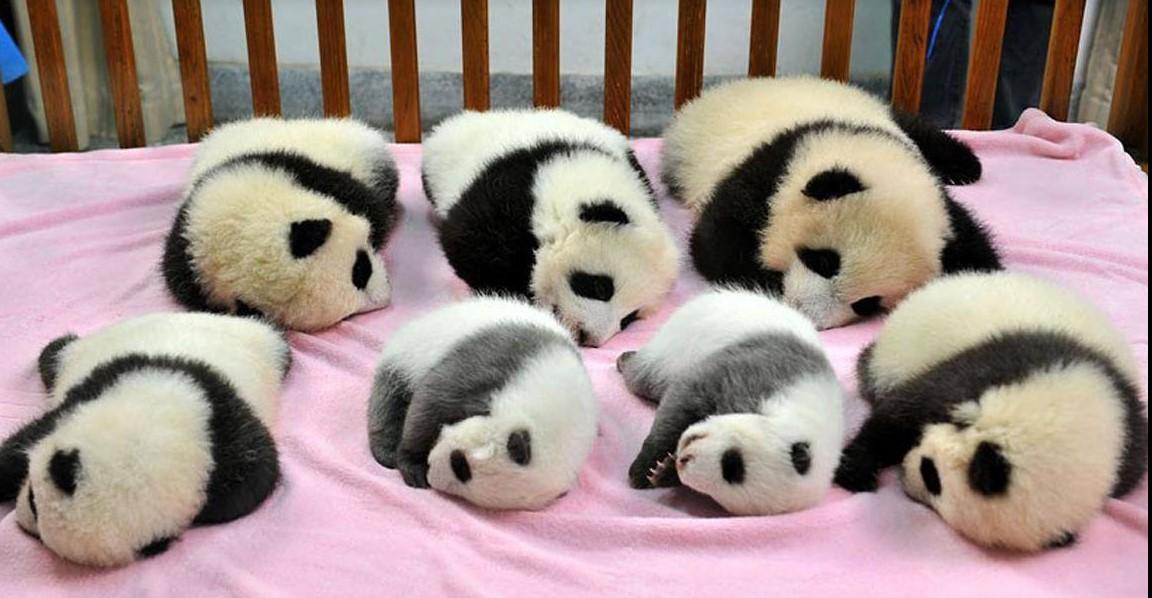 Es stellt sich heraus, dass ein Kindergarten für Pandas existiert. Und das ist der schönste Ort der Welt!