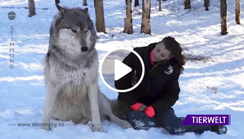 Der Wolf näherte sich der Frau und dann ...Es ist etwas Unglaubliches!