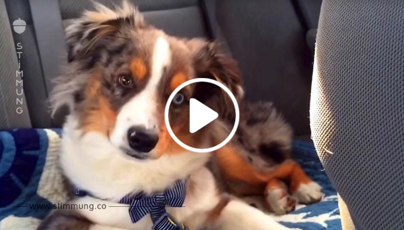 Der Hund hörte sein Lieblingslied und begann mitzusingen. Das muss gesehen werden!