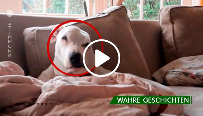 Er war ein Hundeköder bei Hundekämpfen, nach einer schweren Verletzung wurde er in einem Käfig vor Hunger sterben gelassen und dann ...